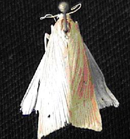 Adulto de Diatraea Sacccharalis