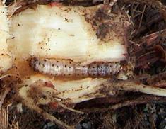 Figura 2. Daños causados por la larva de Diatraea Saccharalis