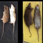 Ratas de la Caña de Azúcar