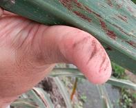 Manchado café de uredosporas al frotar el envés de una hoja infectada