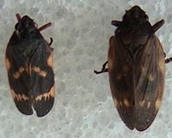 Figura 1.  Adultos, macho y hembra,  del salivazo, Mahanarva  andigena