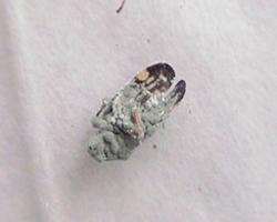Figura 4.  Adulto del salivazo atacado por el hongo Metarhizium   anisopliae