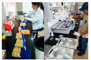 Diagnóstico inmunoenzimático por TBIA: Impresión de muestras de tallos (Izq.)  e incubación de membranas en antisuero específico (Der.)